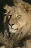 Leone maschio magnifico. Fotografia Stock