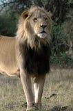 Leone maschio magnifico. Fotografie Stock