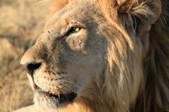 Leone maschio nel Botswana Fotografie Stock