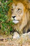 Leone, maschio. Parco nazionale di Kruger, Sudafrica immagine stock libera da diritti