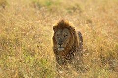 Leone maschio in savana Fotografie Stock
