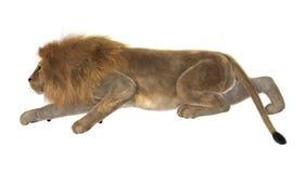 Leone maschio su bianco Fotografie Stock