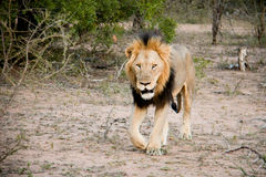 Leone maschio sul vagare in cerca di preda Fotografia Stock