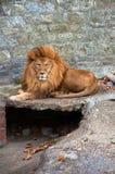 Leone nel giardino zoologico Immagini Stock Libere da Diritti
