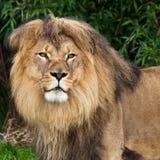 Leone nel giardino zoologico fotografia stock