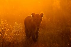 Leone nel parco Fotografia Stock Libera da Diritti