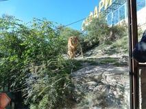 Leone nel parco di safari fotografia stock libera da diritti