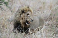 Leone nel parco nazionale di Kruger Fotografia Stock