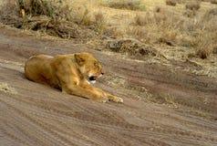 Leone nel parco nazionale di Serengeti, Tanzania immagine stock libera da diritti
