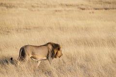Leone nella savanna Fotografia Stock