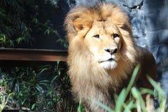 Leone nello zoo Fotografia Stock Libera da Diritti