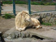 Leone nello zoo Fotografia Stock