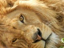 Leone nello zoo, bello animale della giungla di re fotografia stock libera da diritti