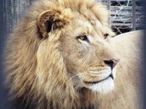 Leone nello zoo di Tbilisi Fotografie Stock Libere da Diritti