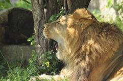 Leone nello zoo, gatto selvaggio Fotografia Stock Libera da Diritti