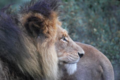 Leone (Panthera leo) Immagini Stock Libere da Diritti