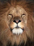 Leone (Panthera leo) Immagine Stock