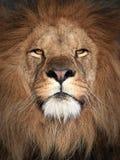 Leone (Panthera leo) Immagine Stock