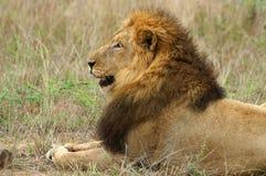 Leone (Panthera leo) Immagine Stock Libera da Diritti
