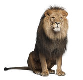 Leone, Panthera leo, 8 anni, sedentesi Fotografie Stock Libere da Diritti