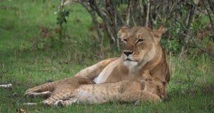 Leone, panthera Leo, madre africana e cucciolo che dormono, masai Mara Park nel Kenya, stock footage