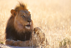Leone (panthera leo) in savanna Immagini Stock