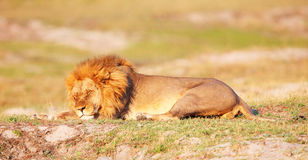 Leone (panthera leo) in savanna Fotografia Stock