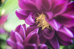 Leone porpora Fotografia Stock