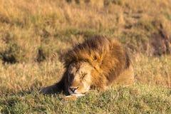 Leone Re delle bestie addormentato Masai Mara Fotografia Stock Libera da Diritti