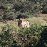 Leone in regione selvaggia fotografie stock libere da diritti