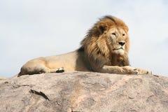 Leone a riposo sulla roccia Royalty Free Stock Photos