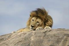 Leone a riposo sulla roccia_2 Stock Photos