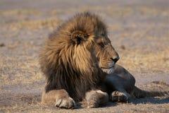 Leone in savanna Fotografie Stock