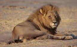 Leone in savanna Immagine Stock Libera da Diritti