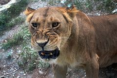 Leone selvaggio del gatto fotografia stock