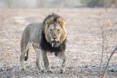 Leone selvaggio del maschio adulto con una preda canina sciolta di appostamenti Immagine Stock Libera da Diritti