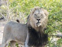 Leone selvaggio del maschio adulto con una preda canina sciolta di appostamenti Immagini Stock Libere da Diritti