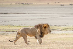 Leone in Serengeti Fotografia Stock