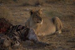 Leone in sole Namibia di mattina Immagini Stock Libere da Diritti
