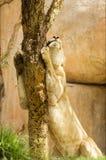 Leone sonnolento nel parco di safari Fotografia Stock Libera da Diritti