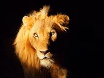 Leone sul safari Fotografia Stock Libera da Diritti