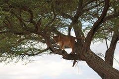 Leone sull'albero Fotografia Stock Libera da Diritti