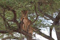 Leone sull'albero Immagine Stock Libera da Diritti