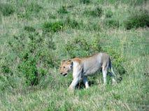 Leone sulla caccia Fotografia Stock