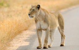 Leone sulla strada, parco nazionale di Kruger, Sudafrica immagine stock libera da diritti