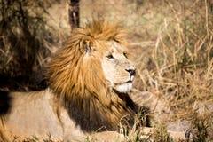 Leone in un parco del gioco nello Zimbabwe Immagine Stock