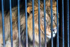 Leone in uno zoo della gabbia Immagine Stock