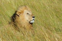 Leone vicino in parco nazionale del Kenya Fotografia Stock Libera da Diritti