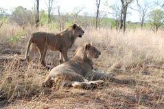 leones Fotos de archivo