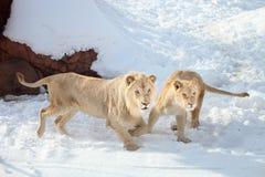 leones Fotografía de archivo libre de regalías